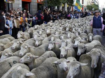 Las ovejas merinas cruzan Madrid (Archivo)