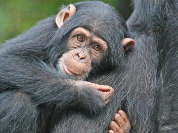 Primate abrazando a su madre