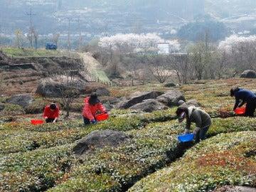 Un grupo de trabajadores recogen hojas de té verde en una granja de Corea del Sur