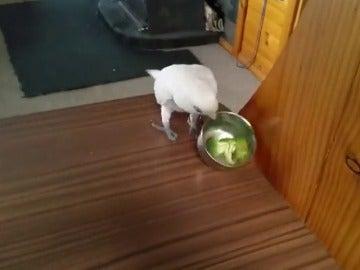 Frame 5.592683 de: Eric, el loro que manda a la mierda a su dueña porque le pone de comer brócoli