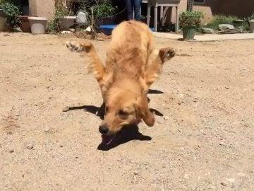 Rexi, el perro con las patas delanteras al revés