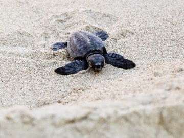Un de las tortugas nacidas en el nido custodiado de El Saler.