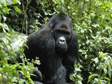 El gorila oriental de planicie, en peligro crítico de extinción