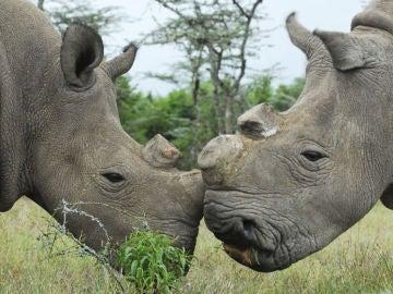 Pareja de rinocerontes blancos, en peligro de extinción