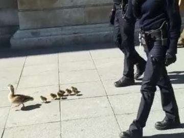 Los agentes de la Policía Nacional acompañando a los patos
