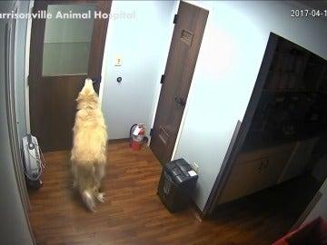 Frame 24.81631 de: Sorprendentes imagenes de un perro capaz de abrir puertas para ir en busca de su familia