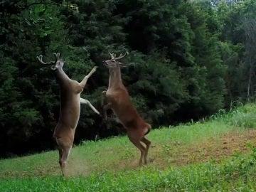 Los ciervos luchando