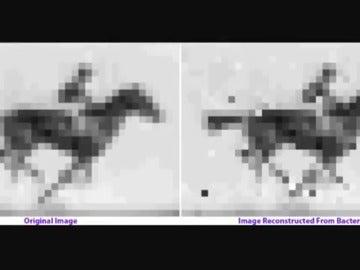 Guardan un vídeo en el ADN de una bacteria