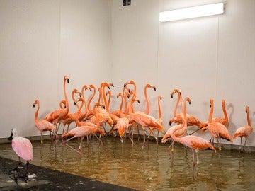 Los flamencos en un refugio antes del huracán Irma en el zoológico de Miami, Florida