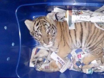 Un tigre encerrado en un contenedor de envío en México