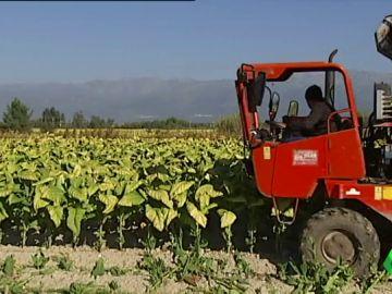 Producción de hoja de tabaco en Cáceres