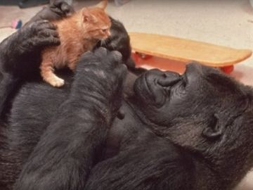 Koko, la gorila que aprendió lengua de signos