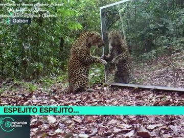 Leopardo frente a un espejo