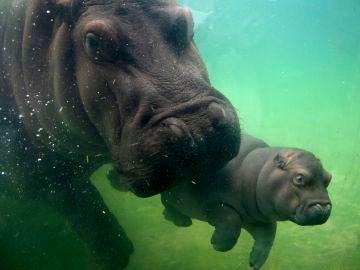 Un bebé hipopótamo, de seis meses de vida, y su madre nadan en un estanque en el Zoológico de Guadalajara, Jalisco