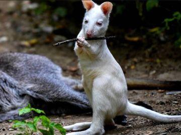 Archibald, una cría de canguro albino de 6 meses