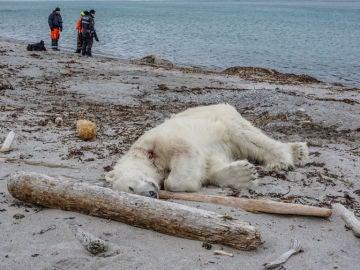 Matan a tiros a un oso polar