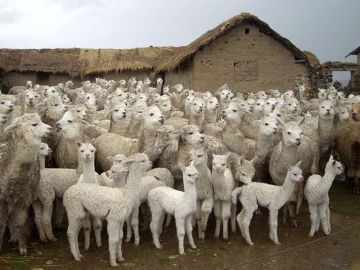 Imagen de decenas de centenares de alpacas