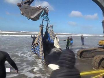 En tres días han aparecido cinco orcas varadas en la costa atlántica argentina