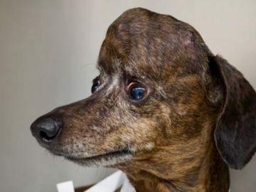Imagen de Patches, perro salvado gracias a una impresora 3D
