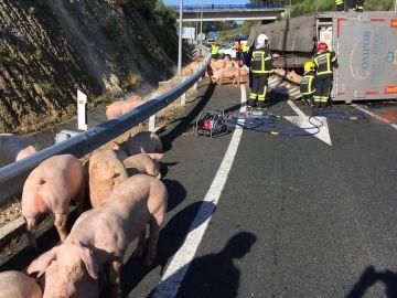 Imagen de los cerdos sueltos en la vía tras volcar el camión que los transportaba