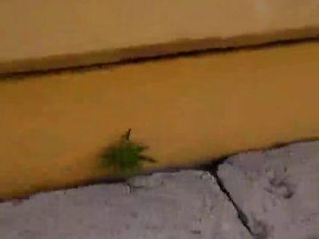 El vídeo viral de un aficionado que muestra cómo crece una planta de marihuana en el estadio de Peñarol