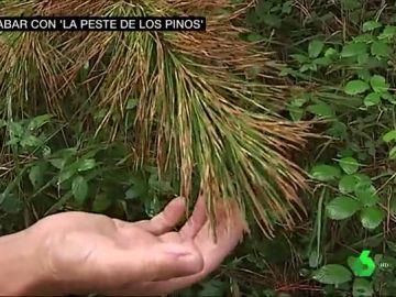 Hongo de los pinos