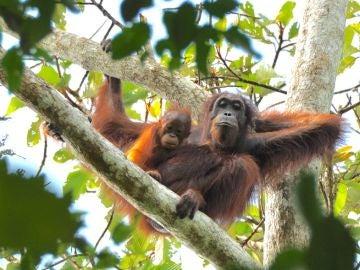 Las poblaciones de orangutanes en Indonesia no están aumentando