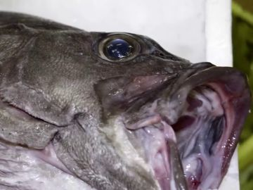 """De los más de 216.000 kilos de pescado fresco, 38 son mero: las sorprendentes cifras de la especie que más """"disfrazan"""" los restaurantes"""