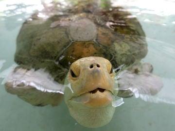 Una tortuga verde en el agua.