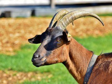 Imagen de archivo de una cabra