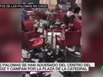 Invasión de palomas en la plaza de la Catedral de Cádiz