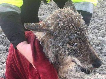 El lobo rescatado en Estonia
