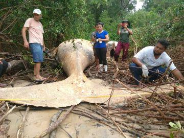 Imagen de la ballena jorobada que fue hallada en el Amazonas