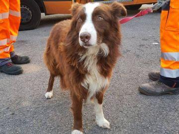 Imagen de Piqué, el perro que persiguió al camión que llevaba a su rebaño de ovejas al matadero