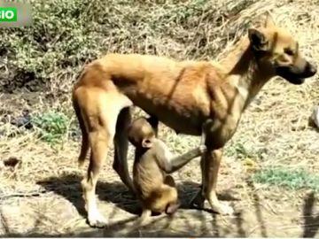 Una perra adopta a un mono huérfano y lo amamanta como si fuera su propia cría