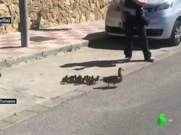 Patitos junto a su mamá pato