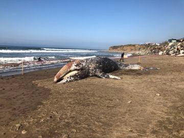 El cetáceo varado en la playa