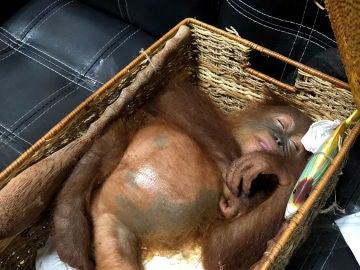 La cría de orangután en su cesta