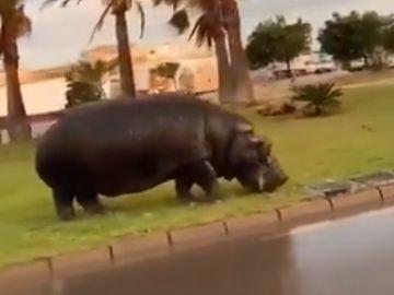 Imagen del hipopótamo en Roquetas de Mar, Almería
