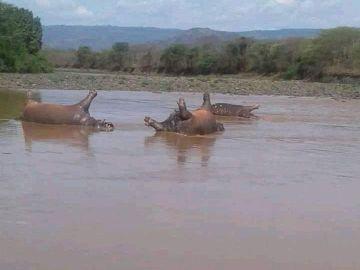 Hipopótamos muertos en el Parque Nacional de Gibe Sheleko