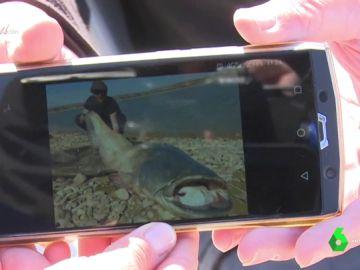 """El negocio detrás de los sirulos, los enormes peces centroeuropeos que invaden los ríos españoles: """"Pagan 600 euros por ejemplar"""""""