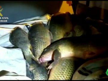 El tráfico de siluros, o cómo es la peligrosa pesca ilegal que mueve miles de euros para consumirse en Rumanía