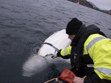 La ballena hallada en la costa noruega