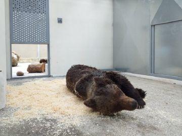 Muere el oso pardo que fue encontrado en un arroyo en León por una grave infección