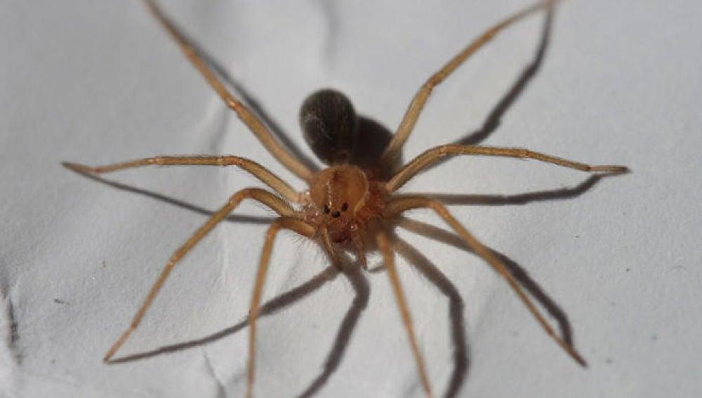 Un ejemplar de la araña violinista