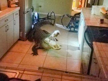 Un caimán entra en la casa de una mujer en Florida