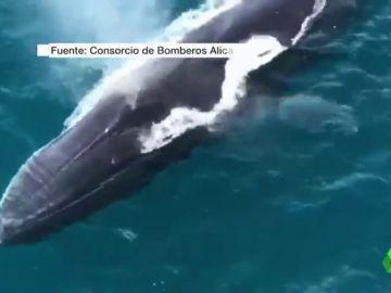 Un grupo de ballenas recorre las aguas de Dénia