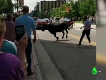 Un novillo se suelta y causa el pánico entre los peatones en Colorado, Estados Unidos