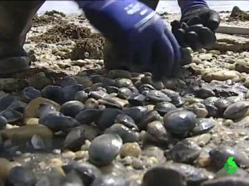 Mariscador cogiendo almejas de las playas gallegas