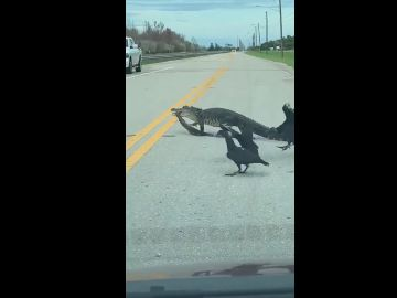 Imagen del caimán trasladando a su presa por la carretera en Florida